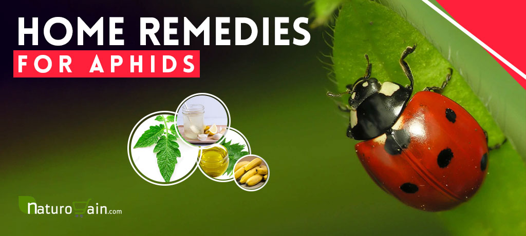 Home Remedies for Aphids