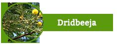 Dridbeeja, Acacia Arabica