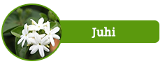 Juhi, Jasminum Aurioulatum
